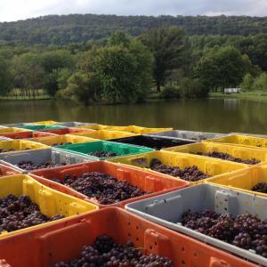 Grapevine-lugs by lake
