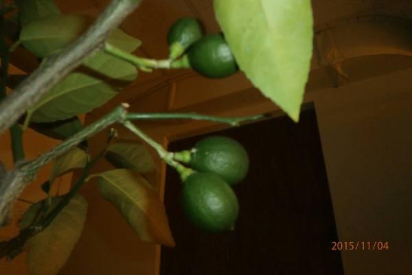 urban-garden-lemons